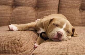 cane chec dorme