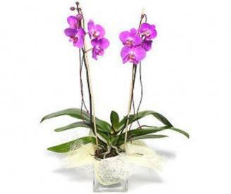 orchidea-phalenopsis-rosa