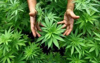 cannabis_marijuana
