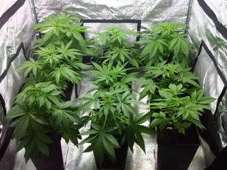 cannabis-