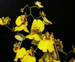 Orchidee__Oncidium_324x268