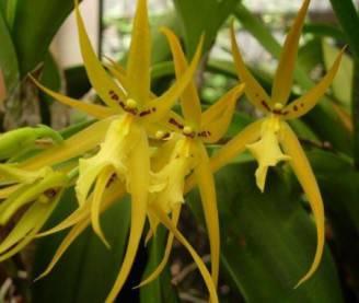 brassia-gialla