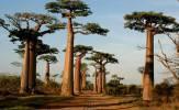baobab secolari del Madagascar