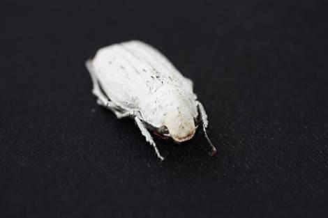Cyphochilus1