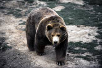 KOSOVO-ANIMALS-BEAR