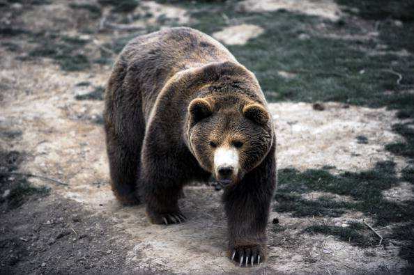 KOSOVO-ANIMALS-BEAR