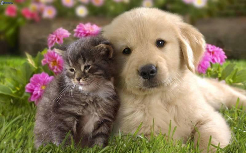 cane-e-gatto,-labrador-cucciolo,-lerba,-fiori-rossi-177606