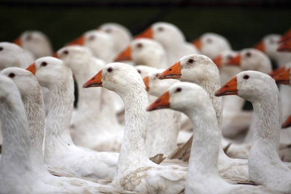 Geese Seen In Fields As They Are Outdoor Reared For Christmas