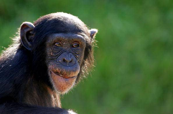 Sydney's Taronga Zoo Welcomes New Baby Chimp