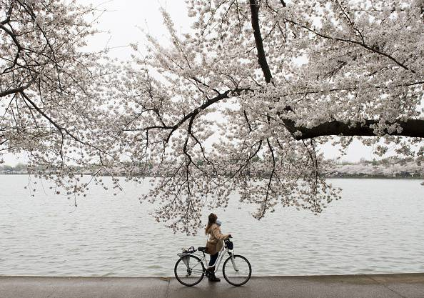 A bicyclist stops to look up at the cherry trees as they blossom around the Tidal Basin on the National Mall in Washington, DC, April 10, 2015. The cherry blossoms, originally a gift from Japan, will reach their peak bloom in the next several days. AFP PHOTO / SAUL LOEB        (Photo credit should read SAUL LOEB/AFP/Getty Images)