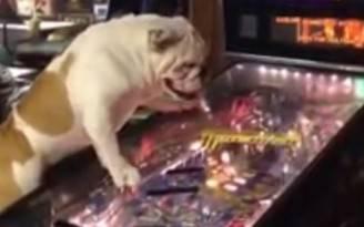 Bulldog e flipper (screenshot YouTube)