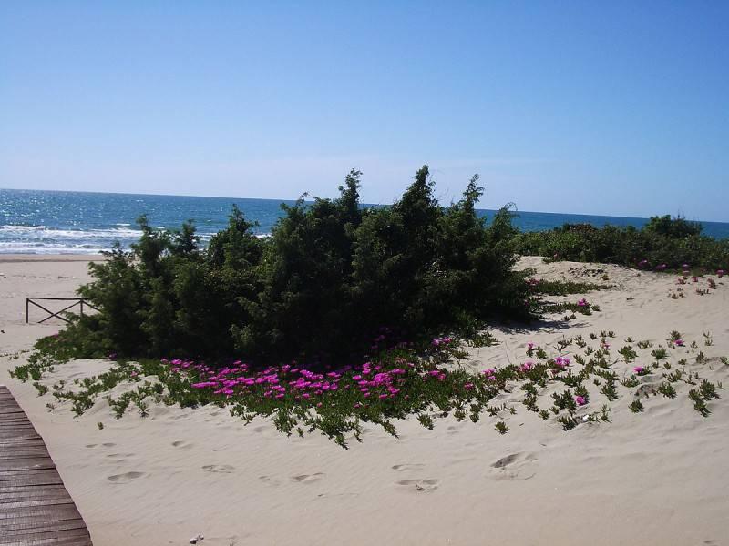 Circeo, duna fiorita sulla spiaggia (Foto di Egnoka, Wikicommons. Pibblico Dominio)
