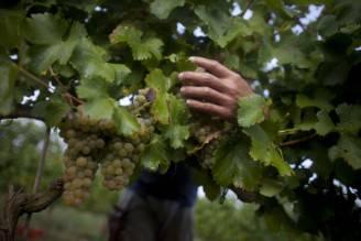 Al lavoro nella vigna (Lior Mizrahi/Getty Images)