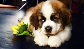 cucciolo san bernardo
