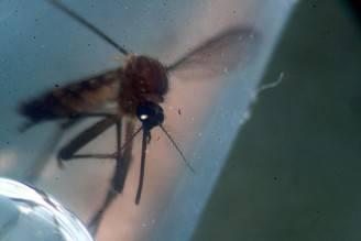 Aedes aegypti, la zanzara responsabile della diffusione del virus Zika (MARVIN RECINOS/AFP/Getty Images)