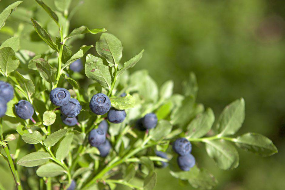 Natural blueberry plant with ready berries