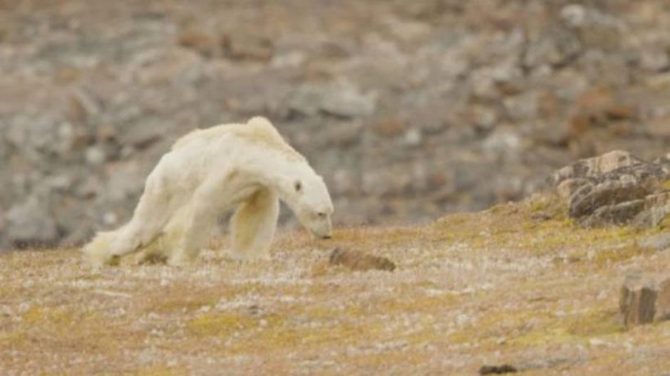 orso polare :(