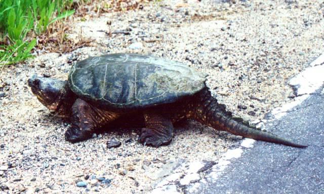 Pomigliano d'Arco, in villa comunale pericolosa tartaruga