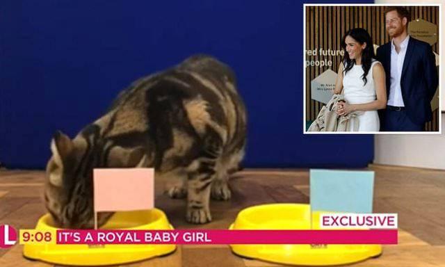 gatto prevede che meghan avrà una femmina