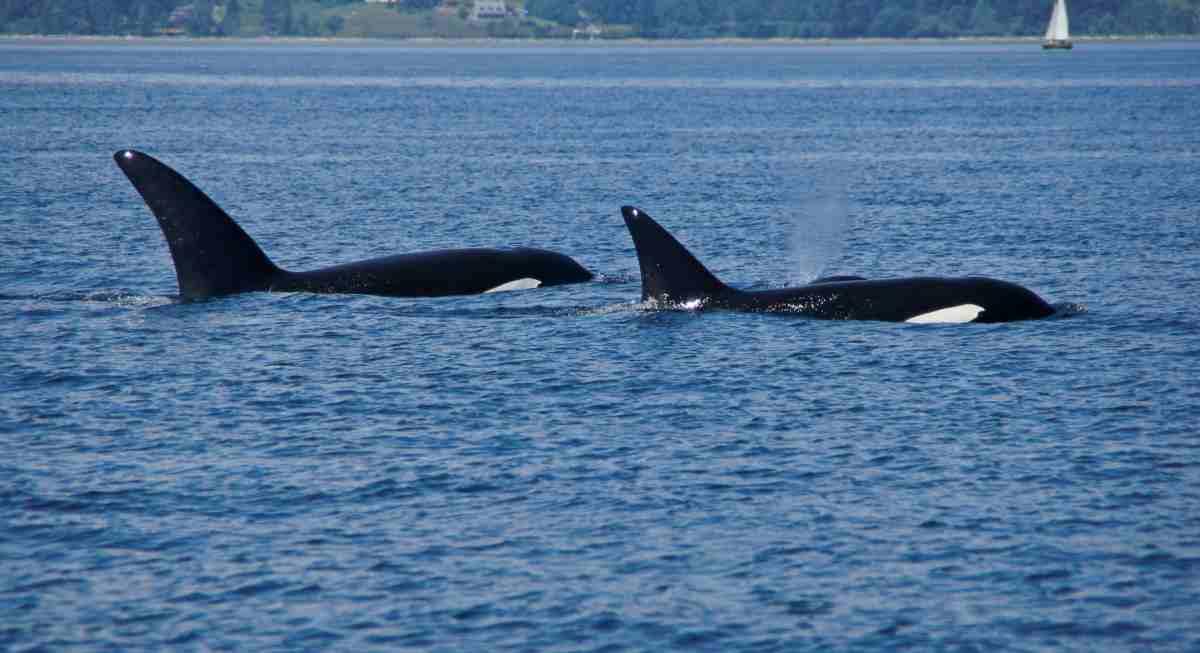 uomo che parla con le orche