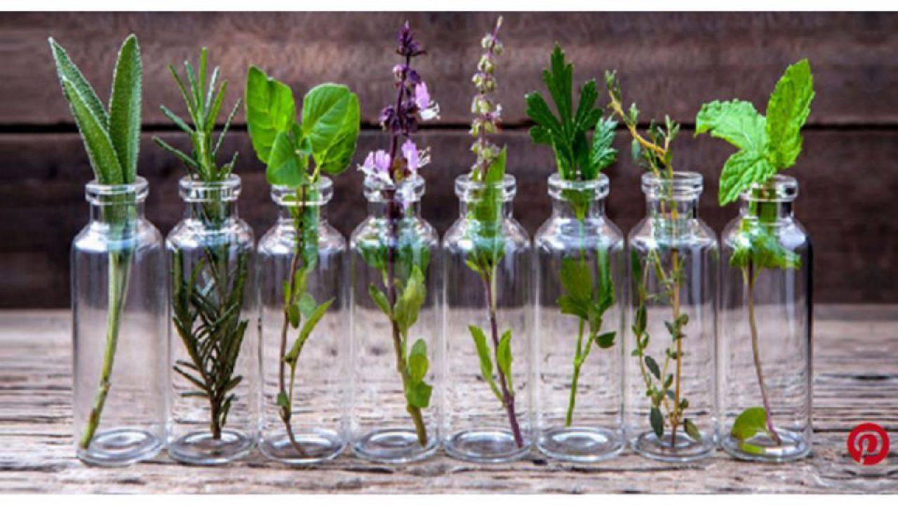 Pianta Simile Al Rosmarino erbe aromatiche, come coltivarle in casa con l'idrocoltura