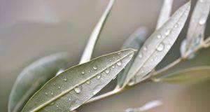 Domenica delle palme, come intrecciare i rami di ulivo