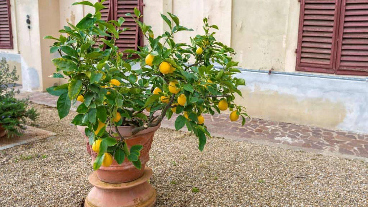 Avere cura della pianta di limone - Domande e Risposte ...