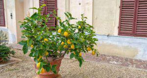 Come coltivare limoni biologici e naturali a casa in modo semplice e veloce