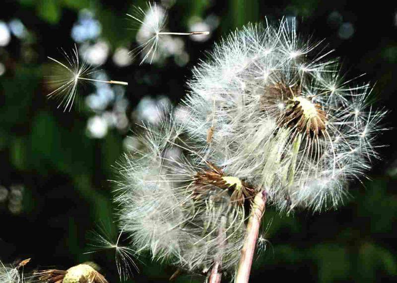 allergia pollini