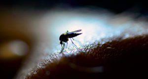 zanzare come pungono