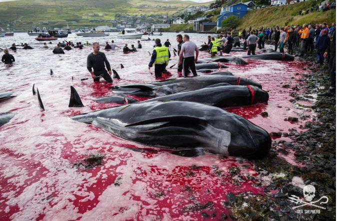 isole faroe cetacei massacrati