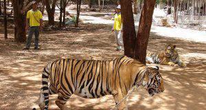 Sono morte le 86 tigri sequestrate dal Tempio delle Tigri in Thailandia