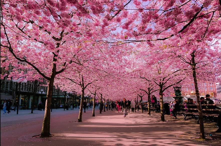 cosa fare in Giappone: la fioritura dei ciliegi