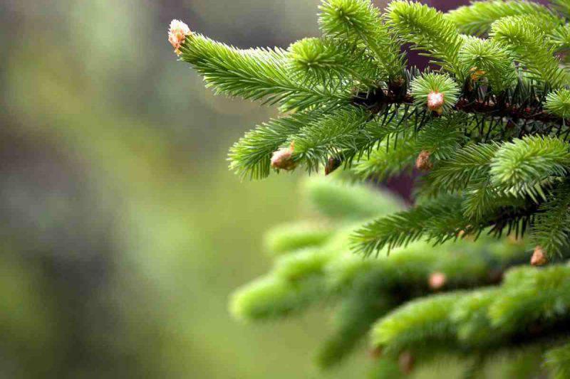 Come scegliere l'albero di Natale vero