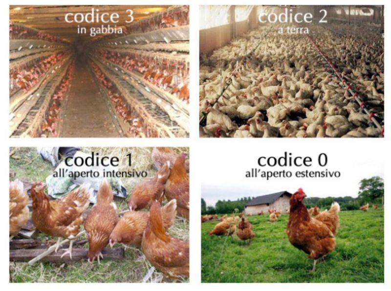 codice allevamento galline