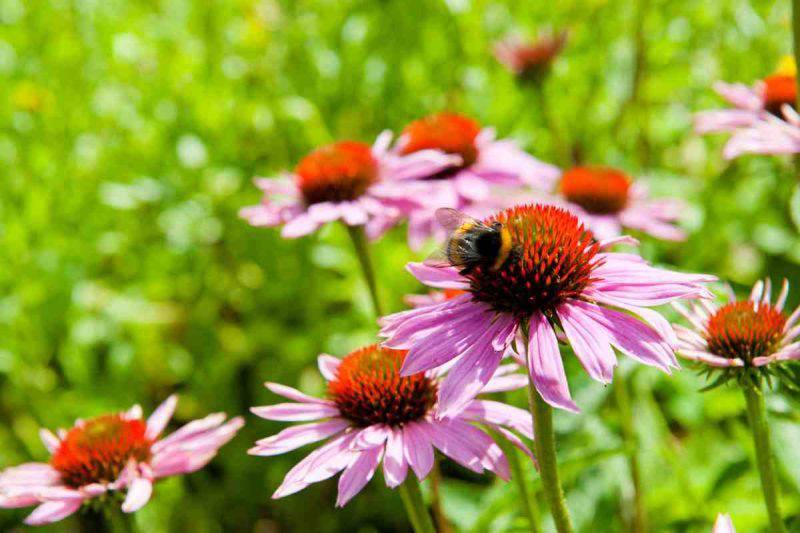 Echinacea Purpurea per curare l'infleunza