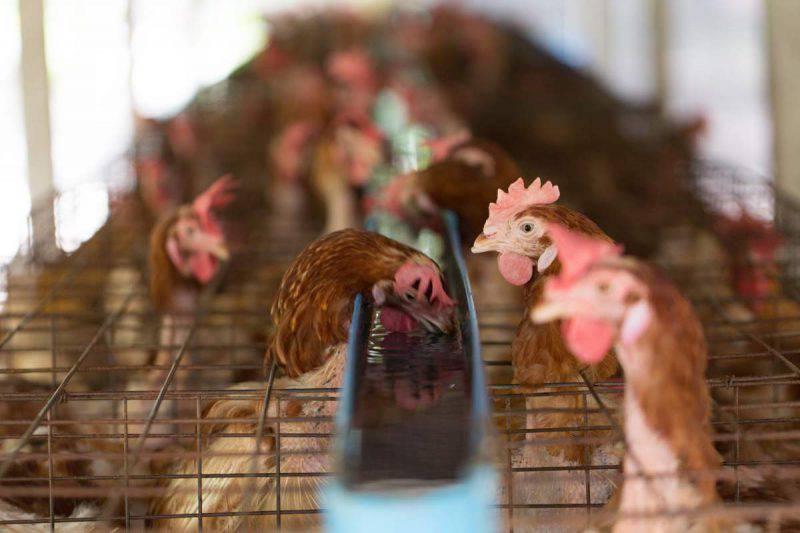 galline allevamento
