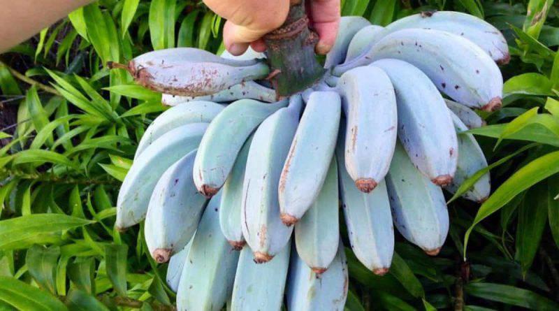 banana blue java