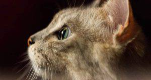 gatto positivo al coronavirus