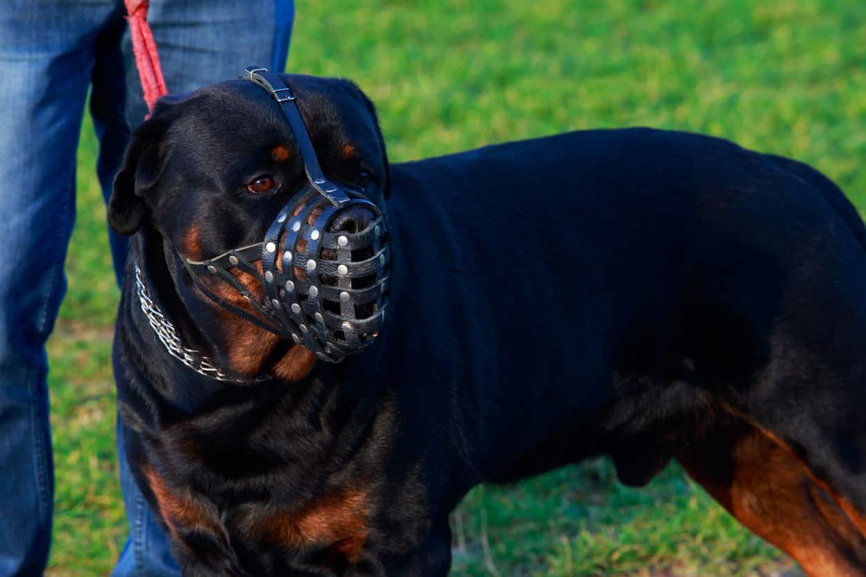 Come ottenere patentino per cani pericolosi