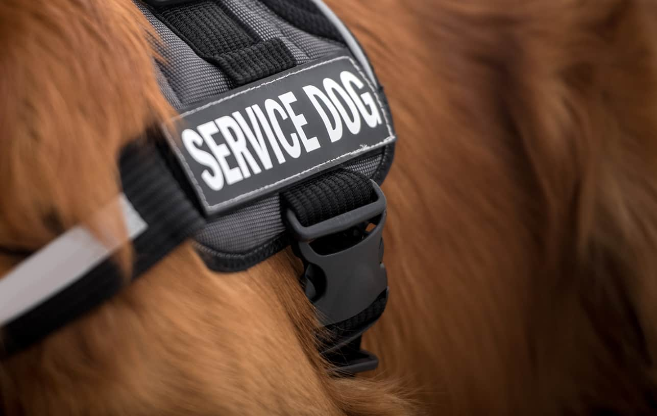 Ecco cosa fare se un cane guida si avvicina a noi senza padrone