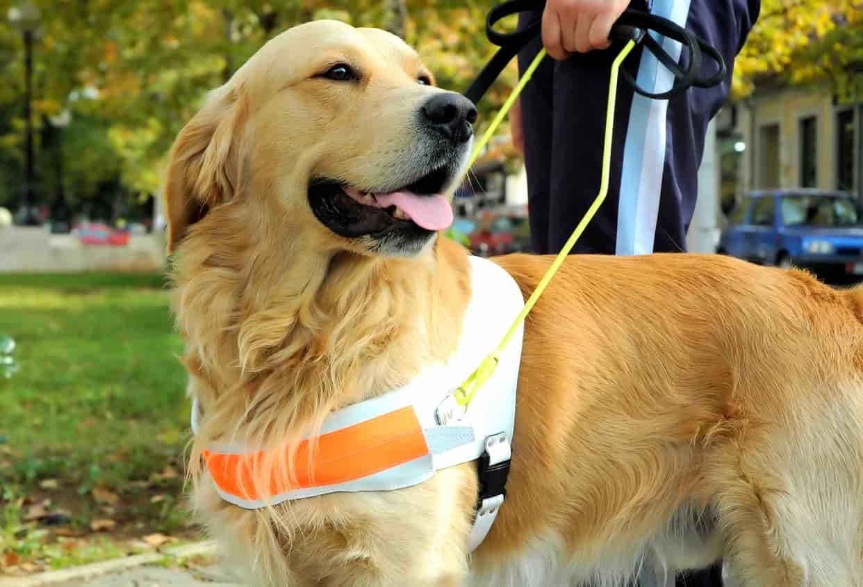 Cosa fare se un cane guida senza padrone si avvicina a noi