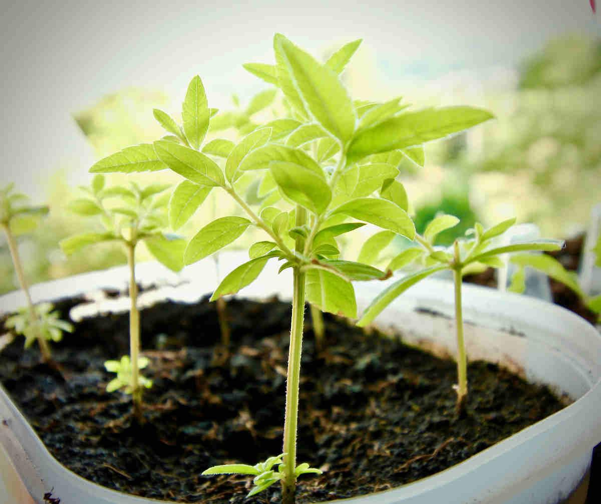 pianta di lemongrass