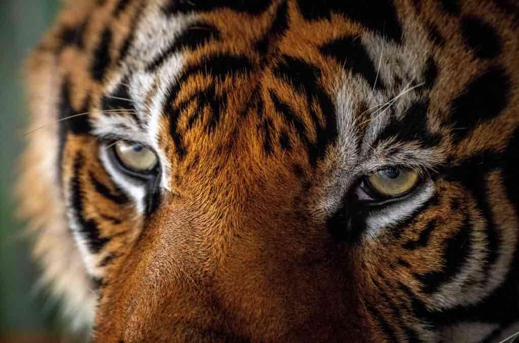 Coronavirus | Tigre positiva al test presso lo zoo del Bronx, New York