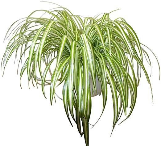 pianta ragno Chlorophytum