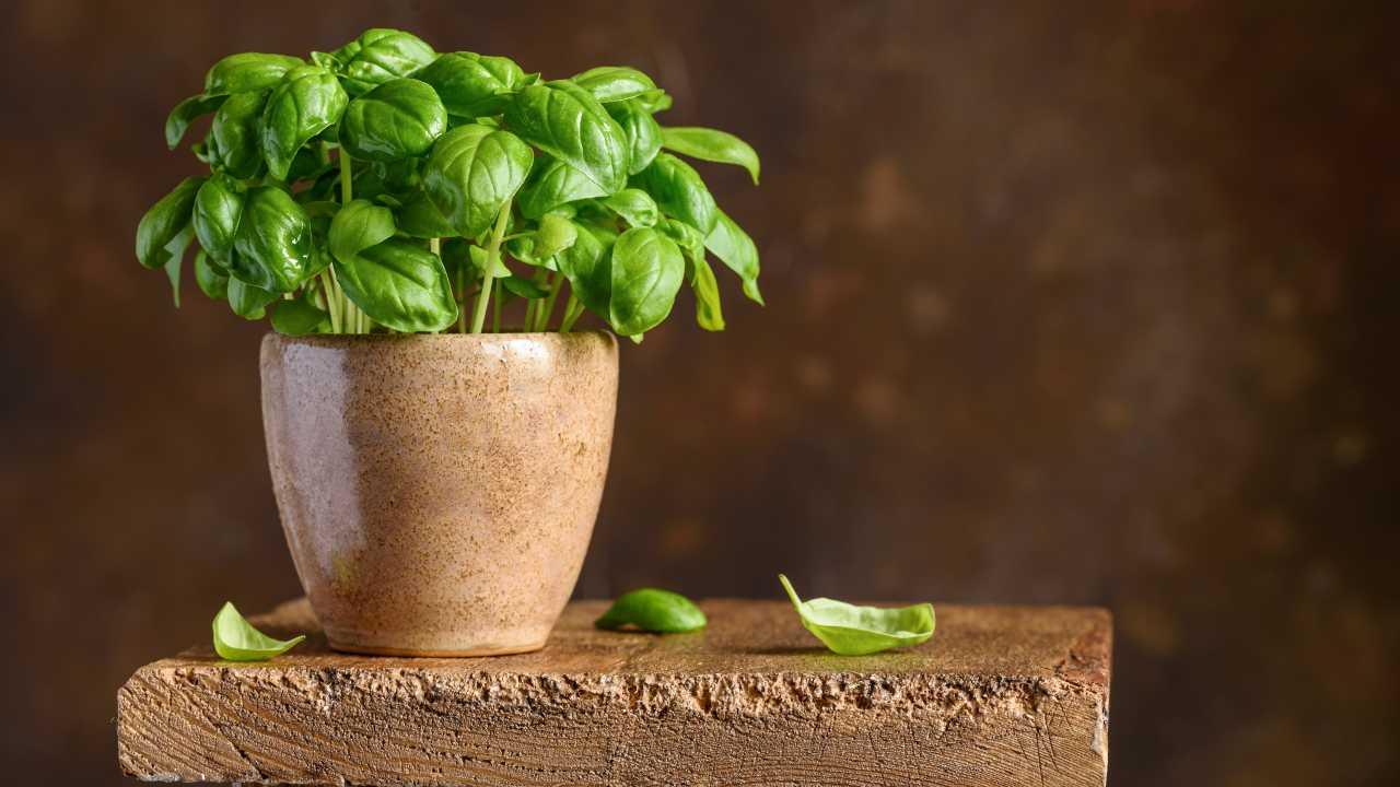 basilico in vaso super 10 segreti