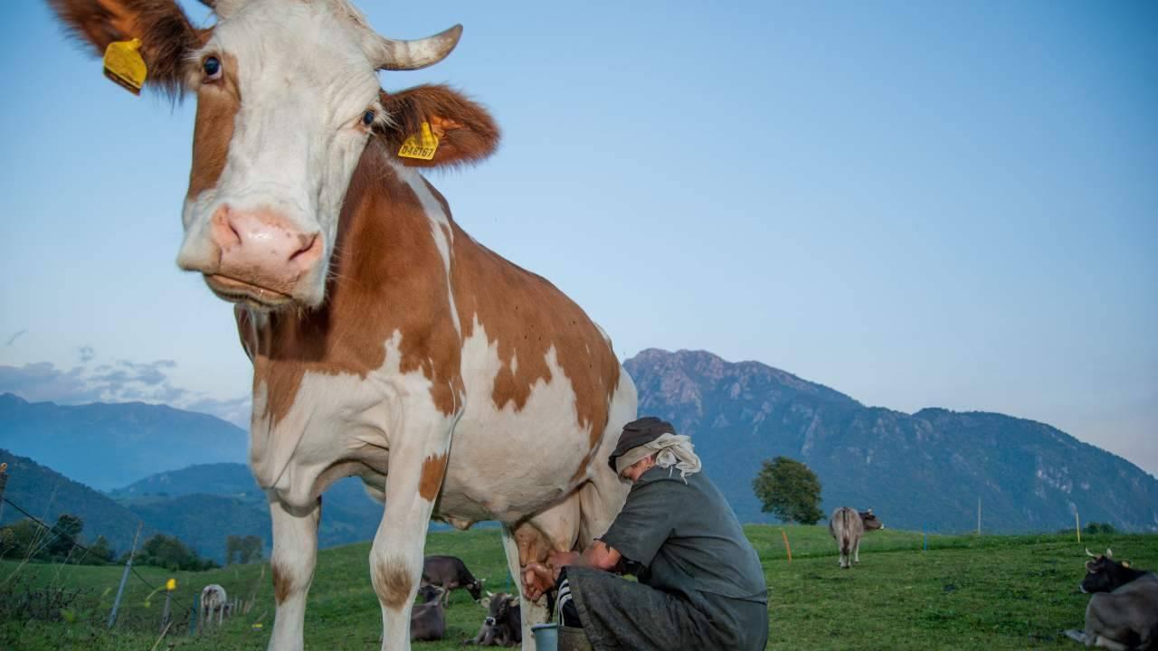 adotta una mucca a distanza