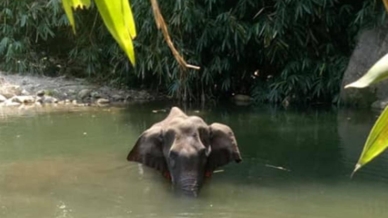 elefante incinta ananas uccisa