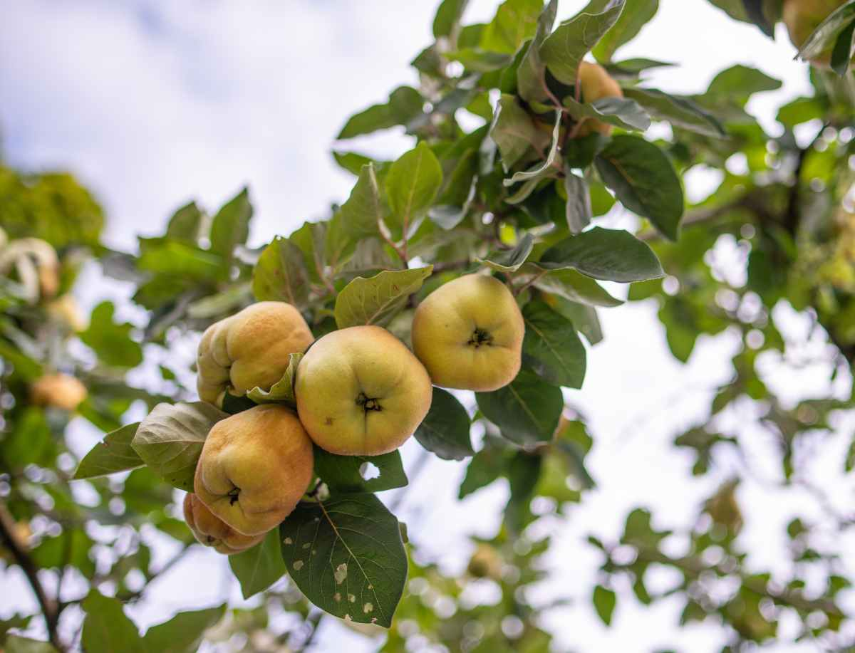 mele renette su albero
