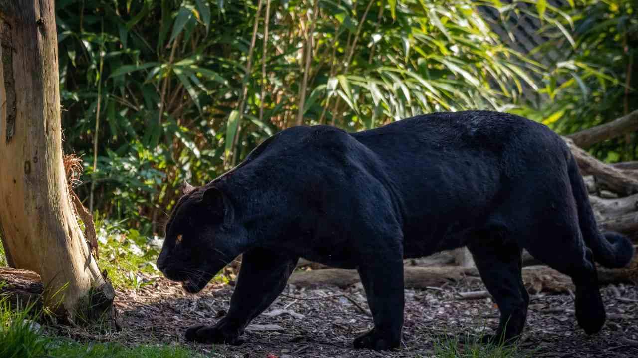 pantera nera avvistata irpinia